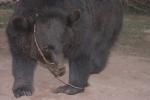 Bano Bear 005