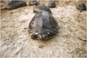 Black-spotted turtles are most subjected to pet trade.