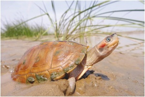 Freshwater turtles, such as the brown roofed turtle, support livelihood of millions of fishermen by feeding upon diseased fish and should, therefore, be protected.