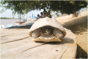 Illeagal export of freshwater turtles is flourishing in Pakistan since they are in great demand as pets while their meat is consumed for other purposes