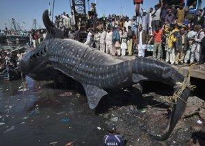 Whale Shark2