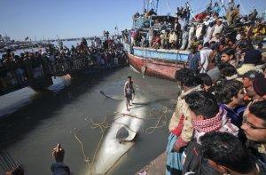 Whale Shark3