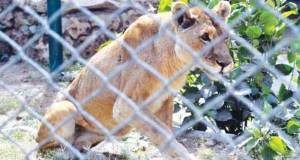 Zoo Lion at Korangi lost one eye sight