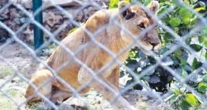 Zoo Lion at Korangi lost one eye sight