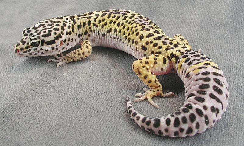 Types Of Leopard Gecko