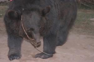 Bano Bear 5