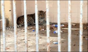 Zoo Landhi Leopard