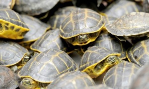 Eight different species of freshwater turtles are found in Pakistan; five of them are globally threatened species