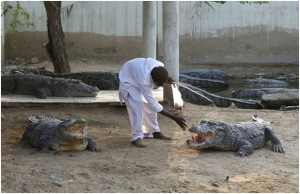 Caretaker Khalifa Sajad feeds crocodiles at the Sufi shrine of Hasan-al-Maroof Sultan Manghopir, better known as the Crocodile Shrine, on the outskirts of Karachi